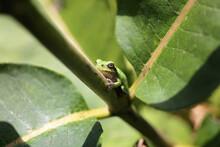 Baby Grey Tree Frog Froglet On...