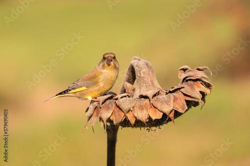 Fotografie, Tablou verdone posato su una pianta di girasole