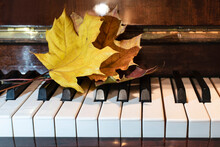 Yellow And Red Beautiful Maple Leaves Lie On The Piano Keys, Autumn Is Coming And Again It's Time To Go To Music School And Get Serious About Music