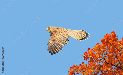 Close up of a common kestrel in flight Canvas
