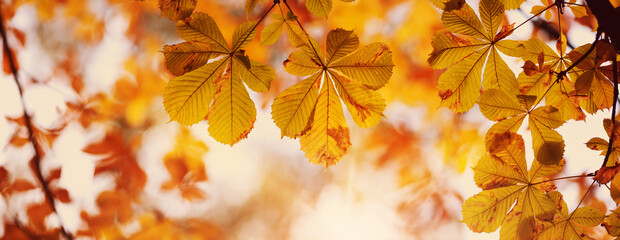 yellow chestnut leaves in autumn with beautiful sunlight