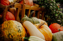 Big Orange Pumkins From An Autumn Harvest. Mums, Pumkins With Gourds From Autumn Harvest. Autumnal Harvest Of Ripened Yellow, Orange, Green Pumkins. Pumpkin, White Pumpkin, Green Pumpkin. Autumn Food.