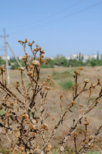 Dry Bush Of Thistle In A Field...