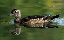Wood Duck Hen Swimming In A Po...