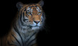 canvas print picture - large old tiger isolated on black
