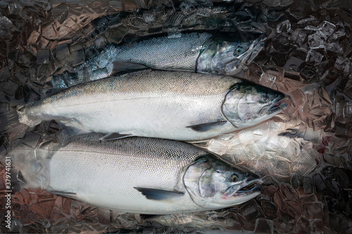 Silver or Coho salmon in Alaska freshly caught and staying fresh in ice Canvas Print