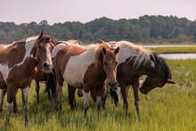 Wild Chincoteague Ponies, Chin...