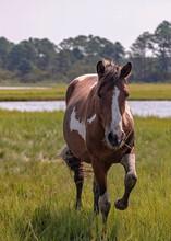 Wild Chincoteague Ponies, Chincoteague Island, Virginia, USA