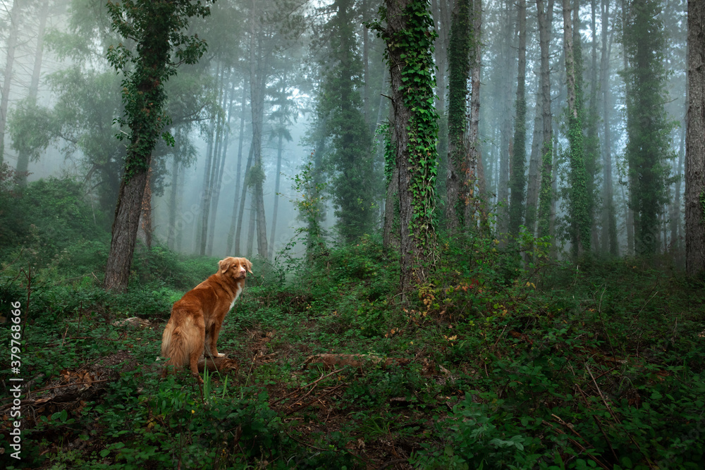 Fototapeta red dog in foggy forest. Nova Scotia Duck Tolling Retriever in nature. pet in fairy forest.