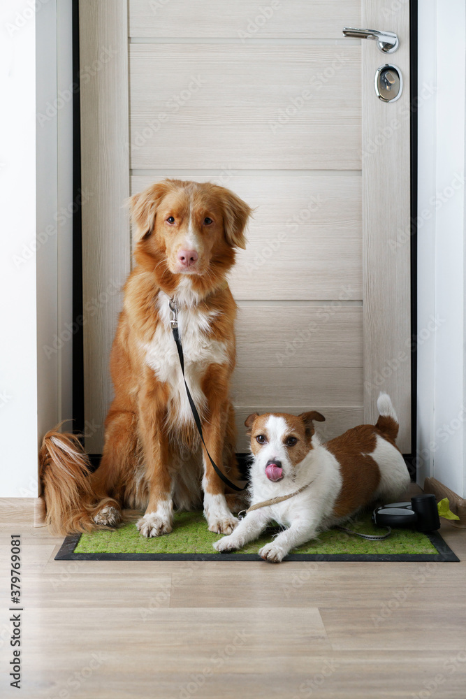 two dogs are sitting at the door and waiting for a walk outside. Nova Scotia Duck Tolling Retriever and a Jack Russell Terrier.
