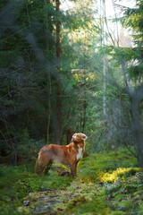 dog in the green forest. Nova Scotia Duck Tolling Retriever in nature among the trees. sunlight