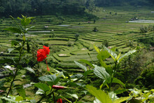 Red Hibiscus In Foreground With Terrace Rice Fields In Background