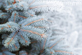 Blue spruce branches with frost and snow. Close-up