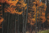 Dark autumn forest background with larch trees