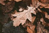 Oak tree leaves with water drops lay on ground