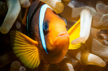 Clarks Anemone Fish With Sea A...