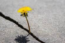 A Yellow Dandelion Flower Grow...