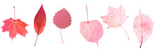 Six Red Leaves Isolated On Whi...