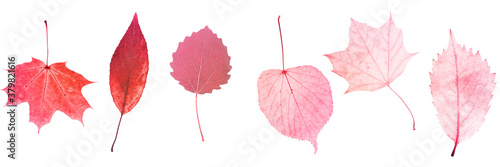 Fototapeta six red leaves isolated on white background. objects for design obraz