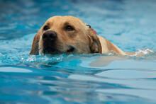 Golden Labrador Retriever Dog,...
