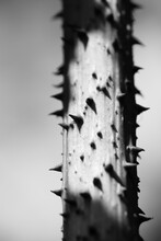 Thorny Stem In Black And White
