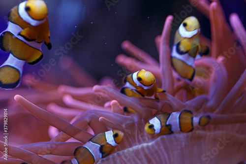 Cuadros en Lienzo clownfish with anemone in the community in aquarium