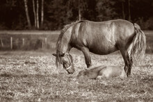 Mule Foal With Mare On The Grass