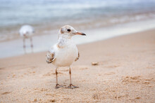 A Baby Gull Looks At The Camer...