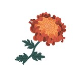 Romantic orange and red chrysanthemum realistic vector illustration. Elegant blossom flower with stem and leaves isolated on white background. Blooming garden plant with bud and petals