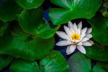 One Water Lily Pond In The Mid...
