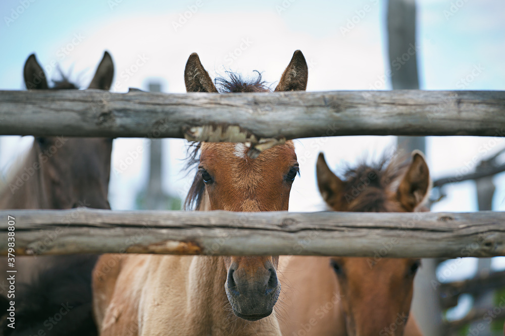 Fototapeta Brown and gray foals look at the camera from a wooden paddock. Farming, animal husbandry, raising livestock.
