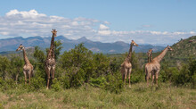 Giraffe (Giraffa Camelopardalis) Family Herd Standing In The Wild Bush With Mountains Background In Kruger National Park, South Africa