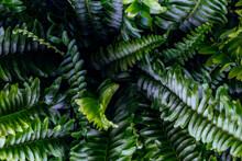 Nephrolepis Exaltata Plant Leaves