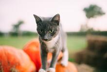 Kat Walking On Pumpkins