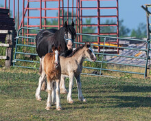 Mother Horse With Two Foals