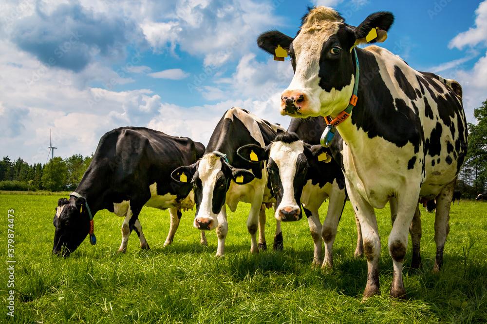 Fototapeta Kühe im Ammerland stehen auf der Weide