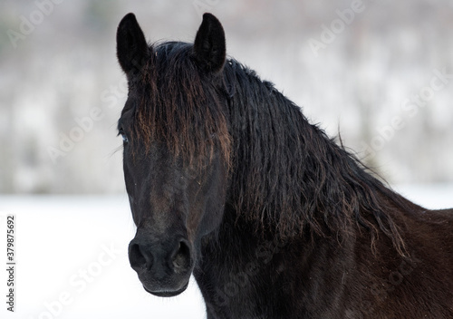 Fototapety, obrazy: portrait of a horse in the snow