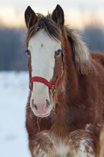 Portrait Of A Young Horse In Winter