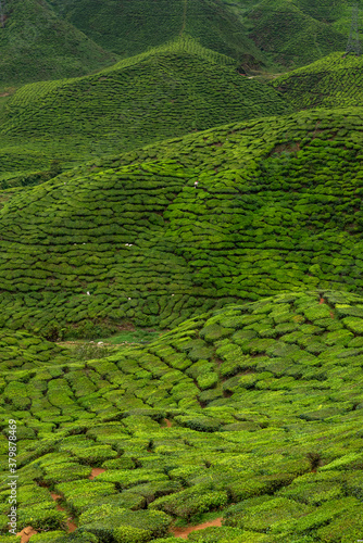 Fototapeta Views of tea plantation in Cameron highlands, Malaysia obraz