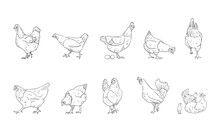 Vector Illustration Of Hen Isolated On White Background.