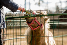 Ponies Eat Grass In A Cage At...