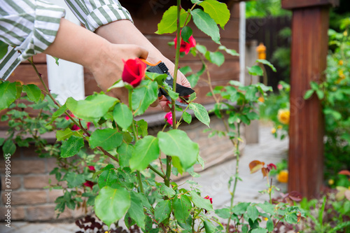 Fotografering Close up woman florist take care of flowers red roses in outdoor garden