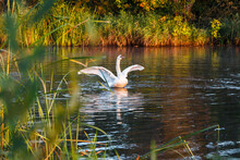 White Wild Swans In The Autumn...
