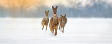 Group Of Roe Deer, Capreolus C...