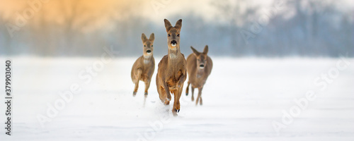 Fototapeta Group of roe deer, capreolus capreolus, running forward through deep snow in winter. Wide panoramic composition of wild mammals sprinting in nature with copy space. obraz