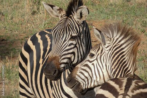 Amor entre cebras en el Serengueti, Tanzania. Canvas Print