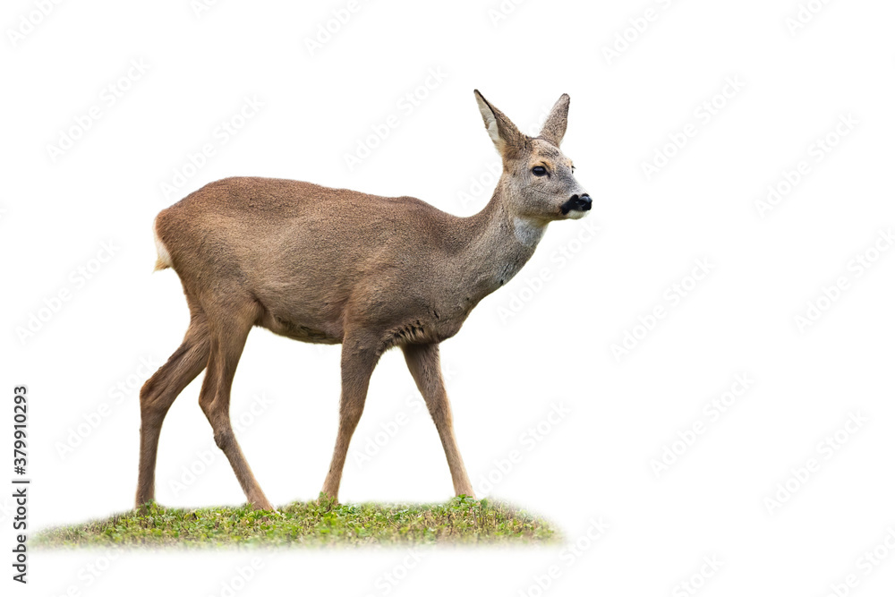 Fototapeta Roe deer, capreolus capreolus, doe standing on grass isolated on white background. Wild female mammal standing in grass cut out on blank. Brown creature watching around with copy space.