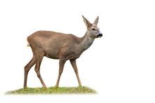 Roe Deer, Capreolus Capreolus,...