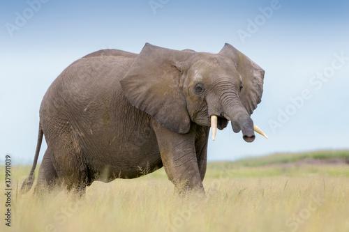 Valokuva African elephant (Loxodonta africana) juvenile, on savanna, playfull smelling to camera, Amboseli national park, Kenya