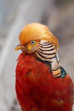 Beautiful Golden Pheasant. Portrait, Front View.